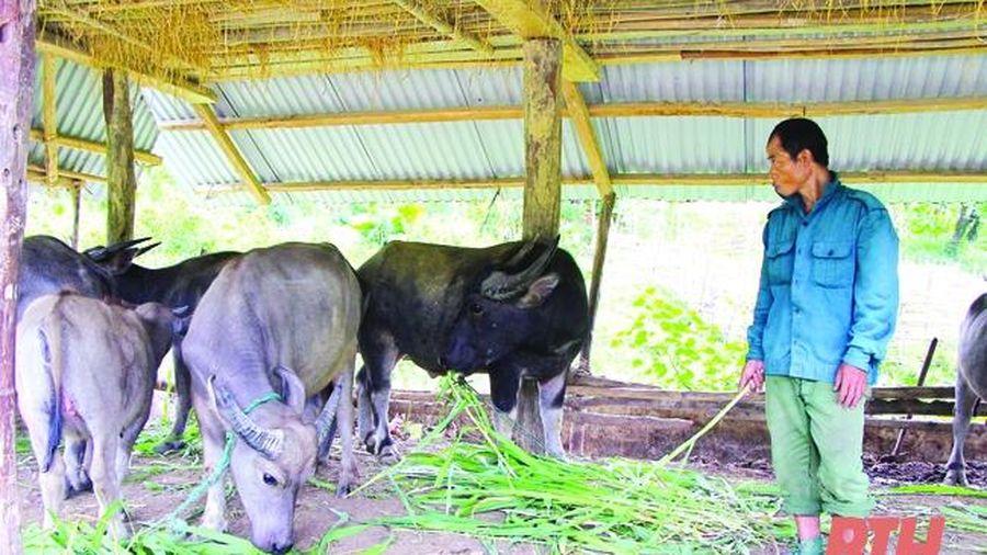 Phát triển chăn nuôi đại gia súc ở Như Xuân