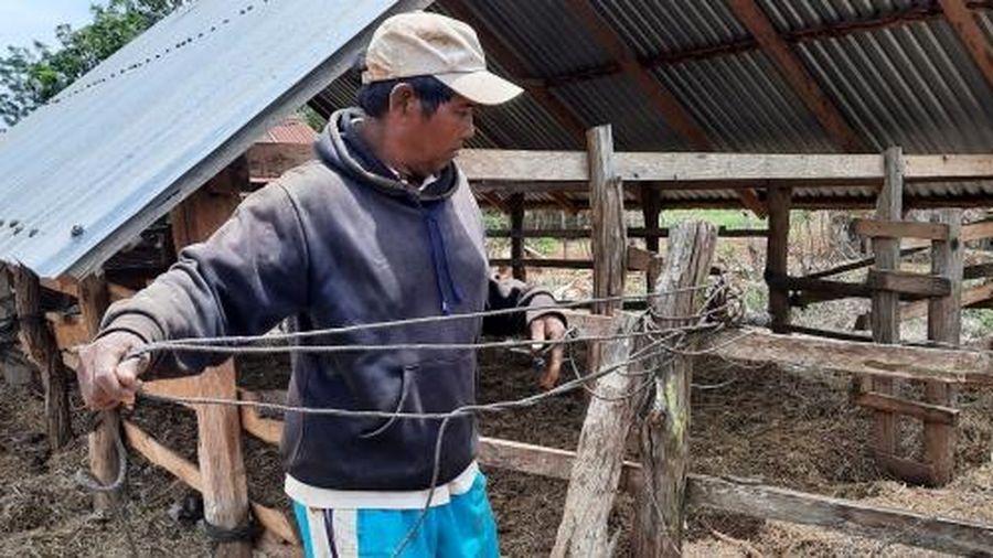 Hơn 50 con bò chết bất thường ở Gia Lai