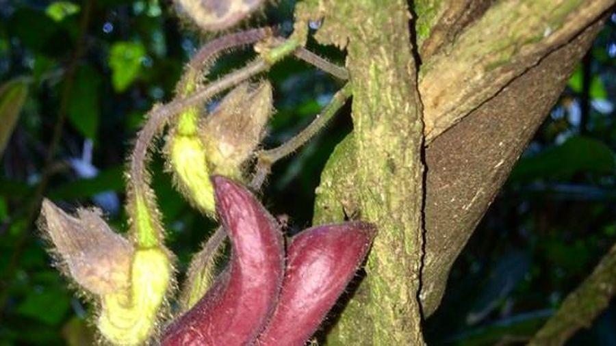 Một loài thực vật mới được phát hiện tại Vườn quốc gia Vũ Quang