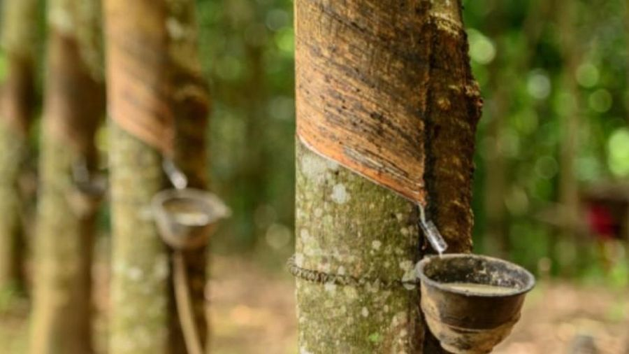 Giá cao su hôm nay 9/5: Biến động nhẹ tại châu Á, xuất khẩu của Campuchia thu về gần 100 triệu USD