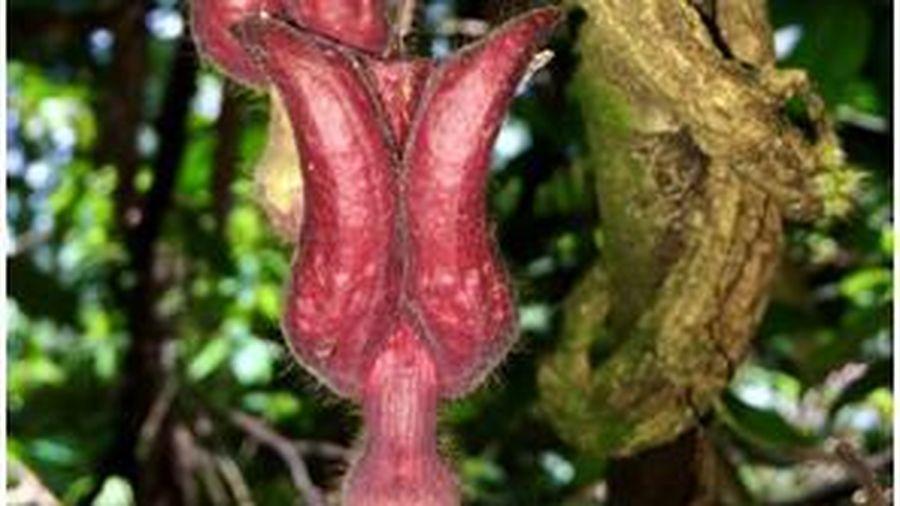 Phát hiện loài thực vật mới lạ tại Vườn Quốc gia Vũ Quang- Hà Tĩnh