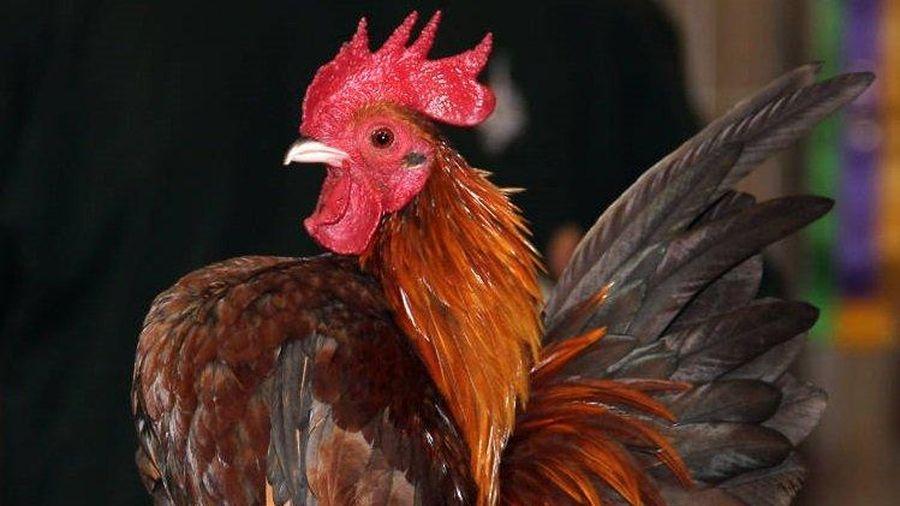 Loài gà nhỏ nhất thế giới sở hữu khả năng đặc biệt