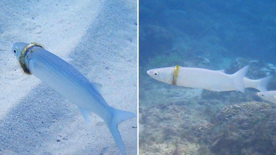 Chuyện thật như đùa, chiếc nhẫn cưới mất tích ngày nào bỗng nhiên được tìm thấy mắc kẹt trên người một con cá dưới đáy đại dương