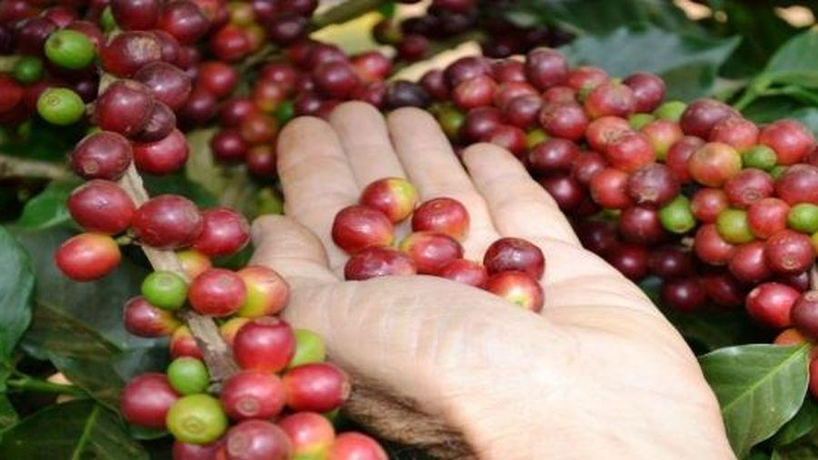 Giá cà phê thế giới diễn biến trái chiều
