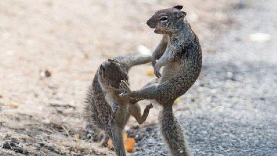 Màn biểu diễn kungfu bất phân thắng bại của hai chú sóc nhỏ