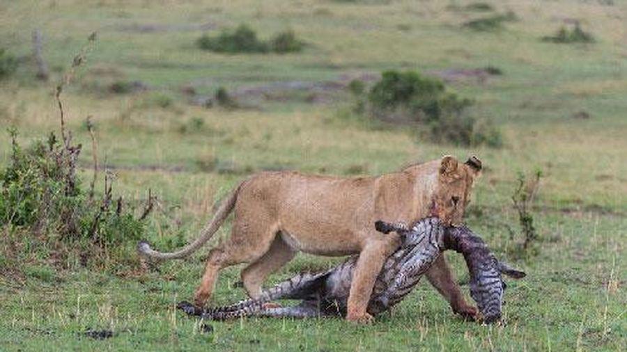 Cận cảnh sư tử cái ăn thịt ngựa vằn non