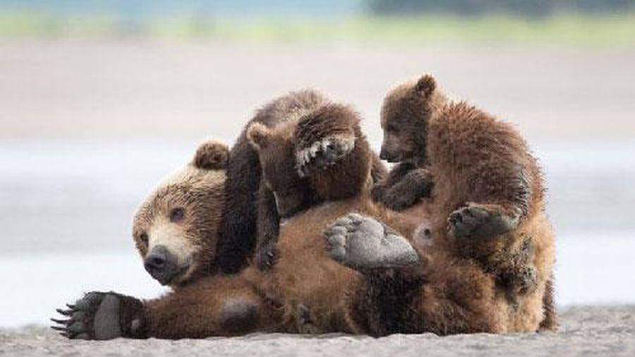 'Chết lịm' trước khoảnh khắc ngọt ngào về tình mẫu tử của gấu nâu