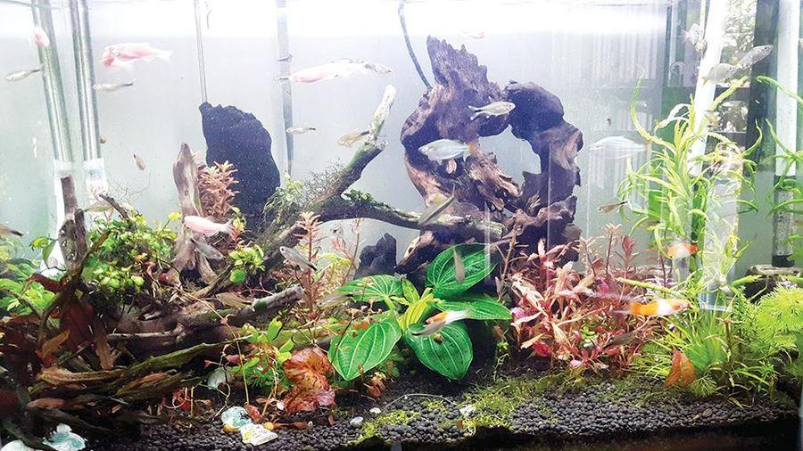 Thú vui nuôi cá cảnh