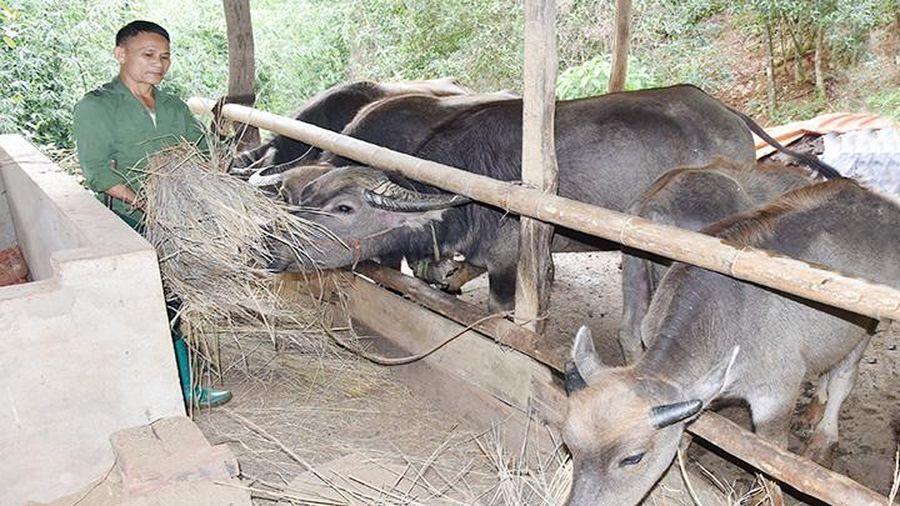 Triển khai các giải pháp phòng, chống bệnh viêm da nổi cục trên trâu, bò