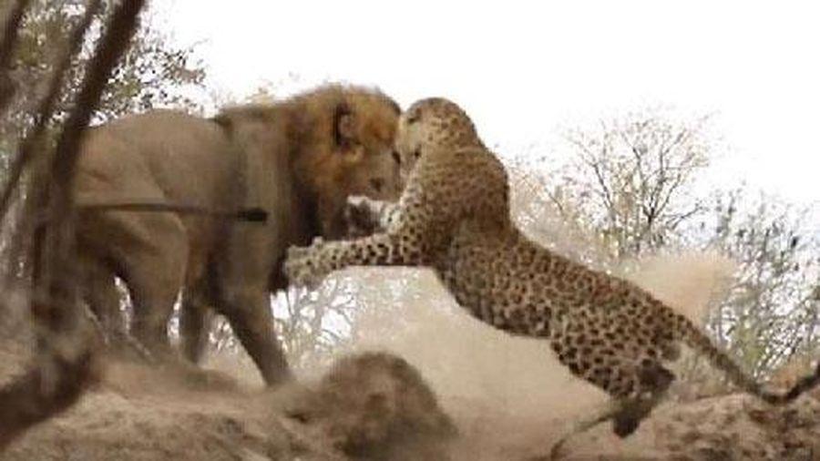Màn đại chiến bất phân thắng bại của sư tử và báo đốm