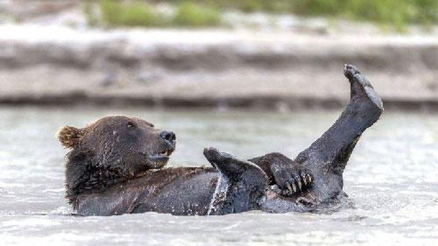 Phì cười với cảnh gấu nâu 'tắm tiên'