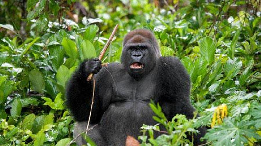'Phì cười' với biểu cảm của khỉ đột khi bị chụp hình
