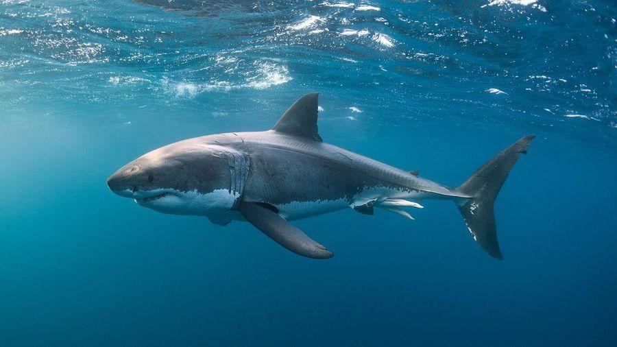 Loài cá mập suýt tuyệt chủng cách đây 19 triệu năm