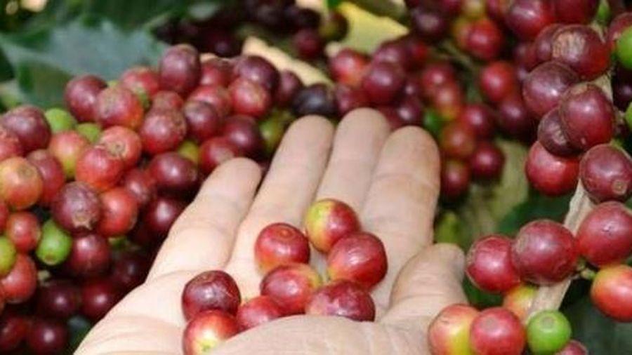 Giá cà phê hôm nay 13/6: Giảm mạnh 500 đồng/kg trong tuần này