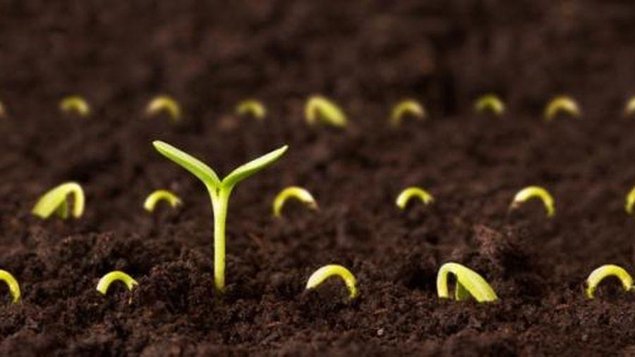 Xử lý hạt giống bằng Neonicotinoid, lợi bất cập hại?
