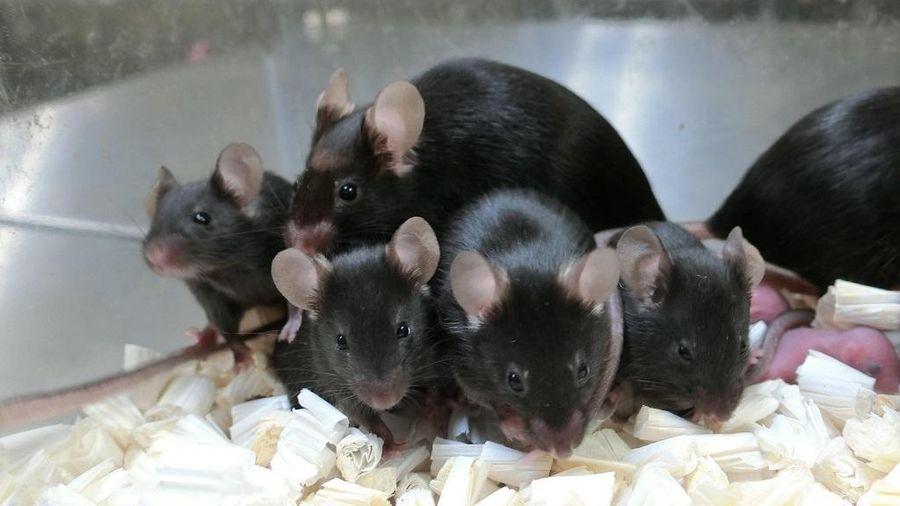 Tạo ra chuột khỏe mạnh từ tinh trùng lưu trong vũ trụ gần 6 năm
