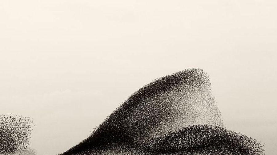 Độc đáo vũ điệu mặt trời đen của hàng triệu con chim