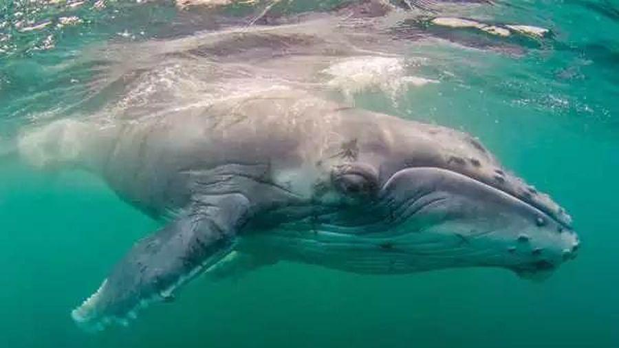 Một người thợ lặn sống sót sau khi bị cá voi lưng gù nuốt chửng