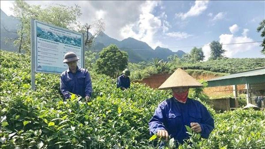 Lào Cai: Biến đồi dốc thành vùng cây ăn quả 'hái ra tiền'