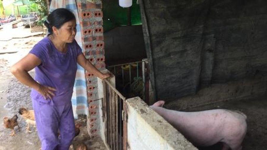 Dịch tả lợn Châu Phi lây lan rộng