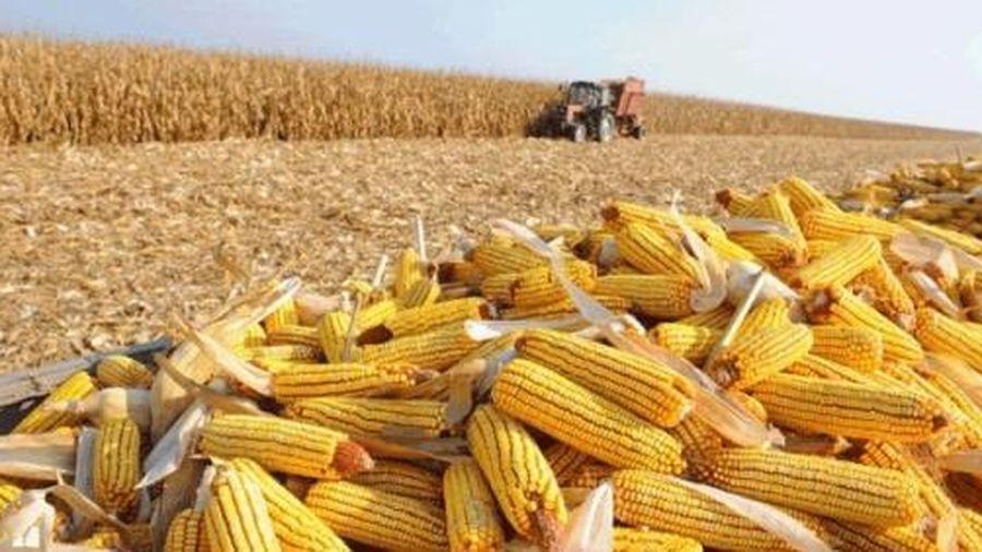Giá ngô nhập khẩu tăng vọt trong 5 tháng đầu năm