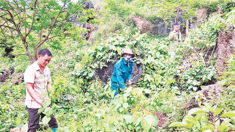 Lạng Sơn chú trọng phát triển vùng cây nguyên liệu