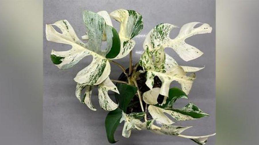 Cây cà 9 lá quý hiếm ở New Zealand được bán với giá hơn 12 nghìn USD