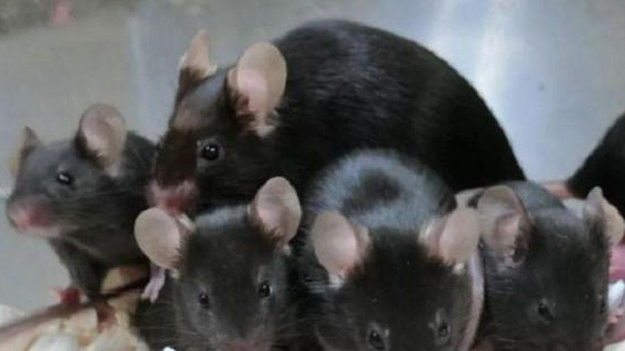 Tinh trùng chuột đông lạnh 'sống' trong vũ trụ gần 6 năm tạo ra 168 chuột con khỏe mạnh