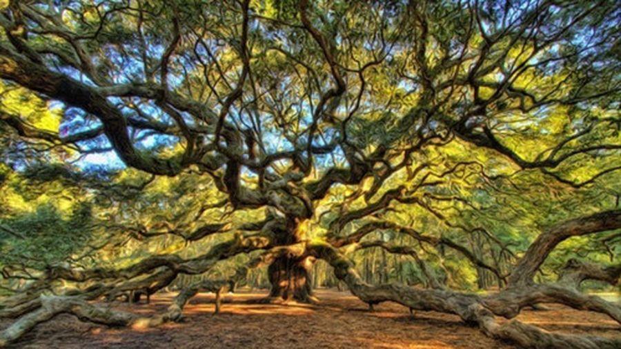 Ngắm cây sồi hơn 450 tuổi đầy vẻ ma mị, bí ẩn