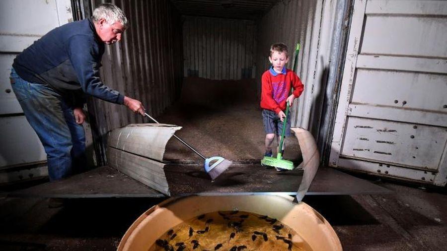 Nông dân Australia đối đầu đại dịch chuột