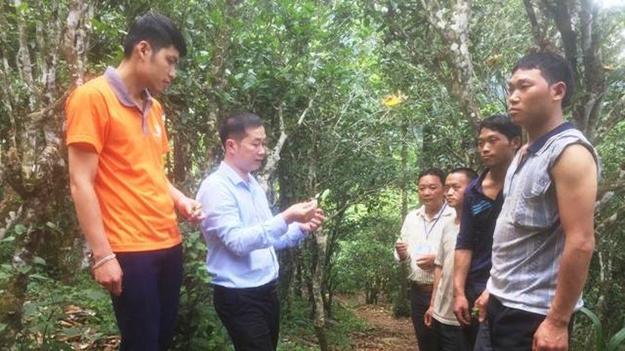 Hà Giang: Đồng Văn bảo tồn, phát triển vùng chè Shan tuyết Lũng Phìn