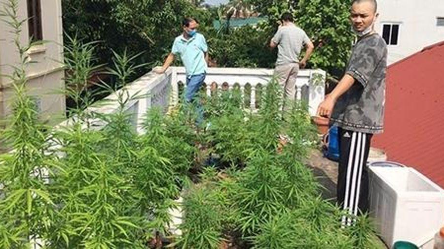 Những thủ đoạn tinh vi của dân trồng 'cỏ'