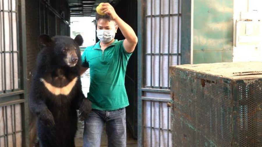 Bốn cá thể gấu cuối cùng ở Rạp xiếc Trung ương đã chuyển giao về Trung tâm cứu hộ