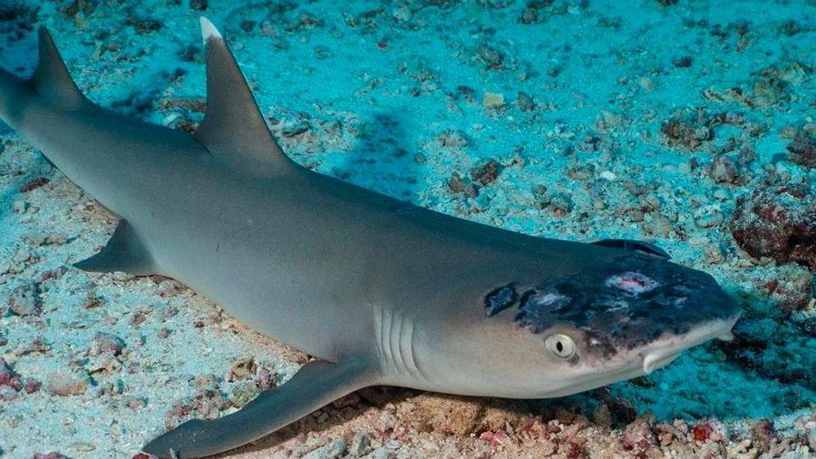 Nghi vấn nước biển nóng lên khiến hàng loạt cá mập mắc bệnh về da