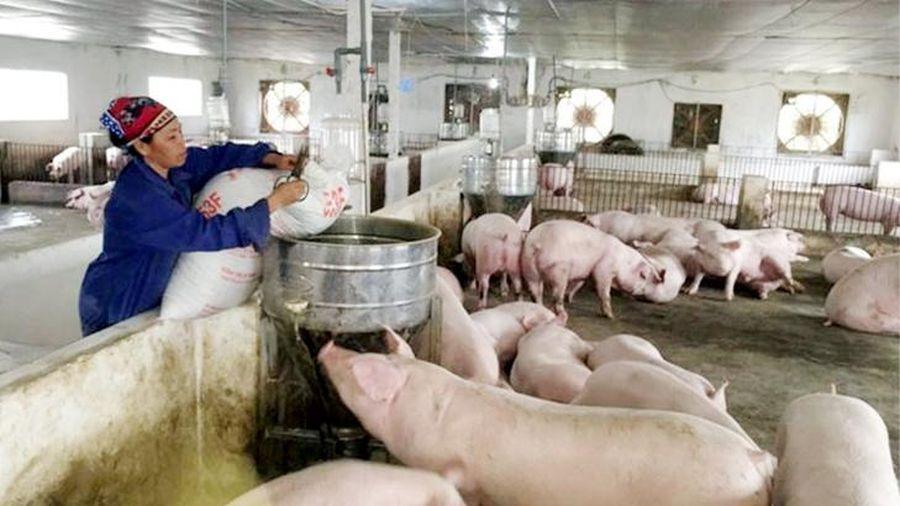Giá lợn hơi hôm nay 15/6/2021: Cả 3 miền ít biến động, dao động từ 65.000 - 75.000 đồng/kg