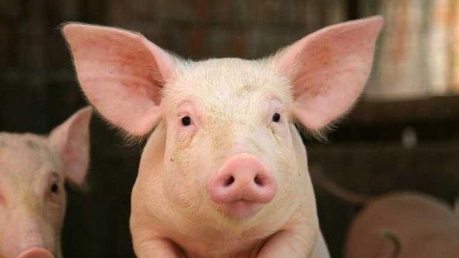 Doanh nghiệp thịt lợn chi hơn 120 tỷ đồng trả cổ tức