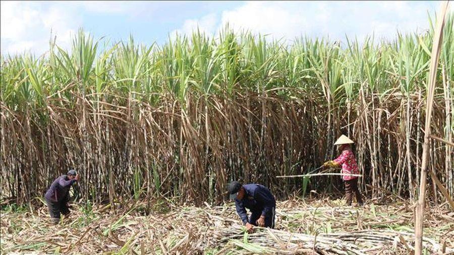 Chính thức áp thuế chống bán phá giá, chống trợ cấp đường Thái Lan