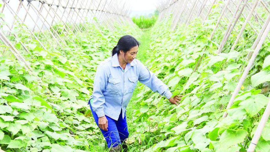 Chuyển đổi cơ cấu cây trồng hạn chế tác động của dịch bệnh