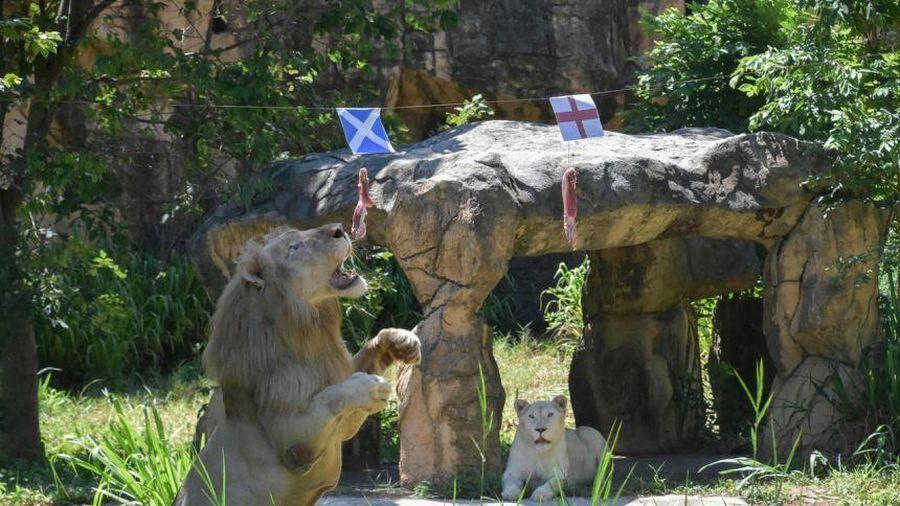 Sư tử tiên tri gây sốc ở trận Anh gặp Scotland