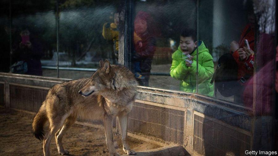 Đàn sói gây hoảng sợ khi rượt đuổi diễn viên trên sân khấu Trung Quốc