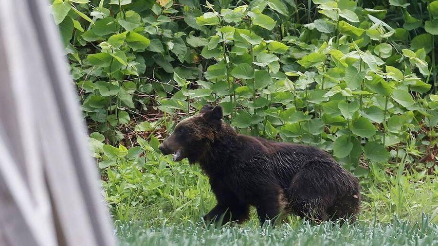 Người và gấu liên tục đụng độ ở Nhật Bản