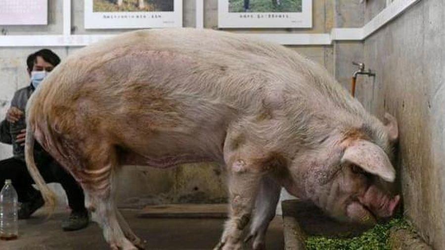 Trư Kiên Cường - Con lợn nổi tiếng nhất Trung Quốc qua đời