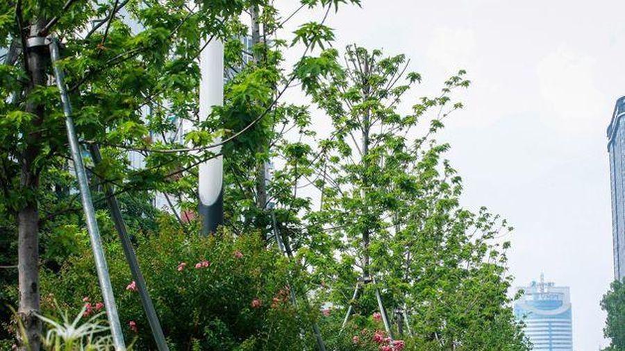 Hình ảnh hàng cây phong lá đỏ tại Hà Nội bỗng 'hồi sinh' giữa nắng hè oi bức