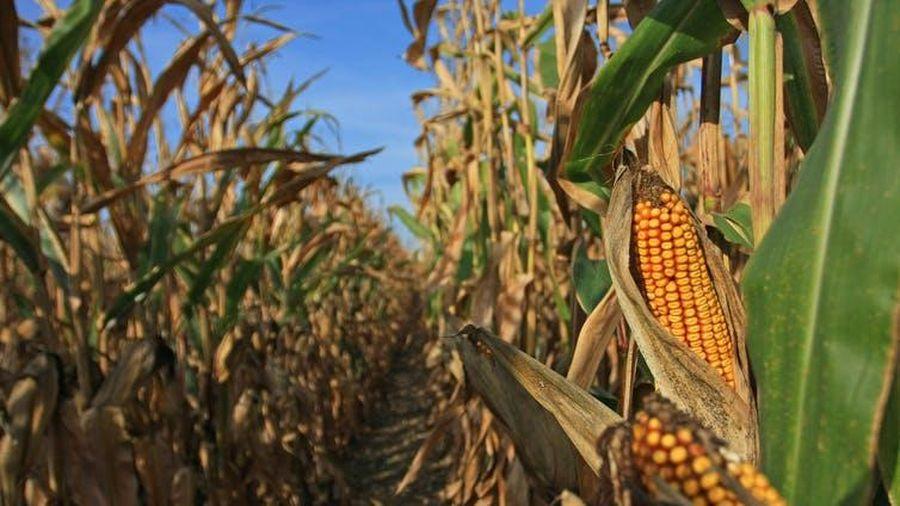 Hạn hán nghiêm trọng tại Hoa Kỳ có thể khiến giá ngô, đậu tương tăng lên