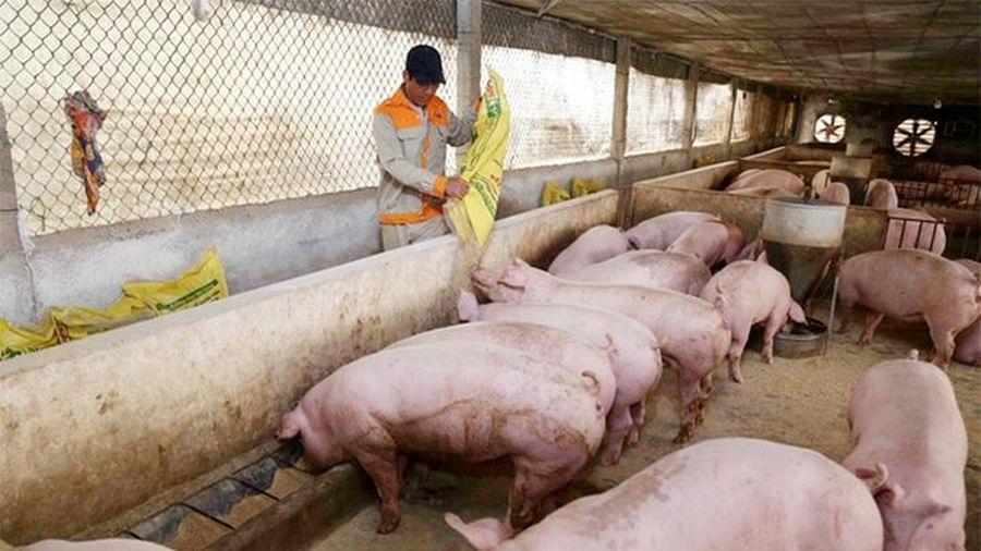 Giá lợn hơi hôm nay 19/6/2021: Điều chỉnh nhẹ, dao động từ 65.000 - 72.000 đồng/kg