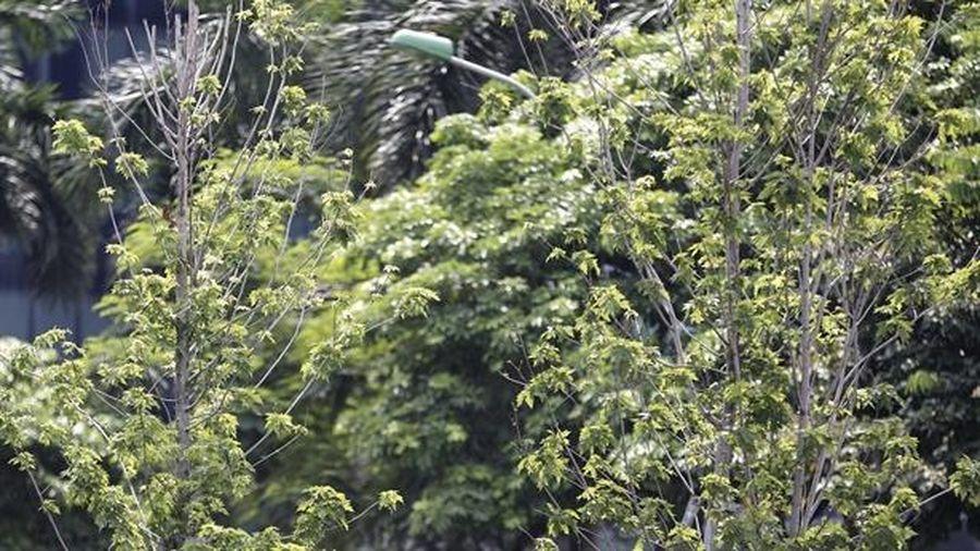 Hàng cây phong ở Hà Nội bỗng xanh tươi: 'Thời gian sẽ...'