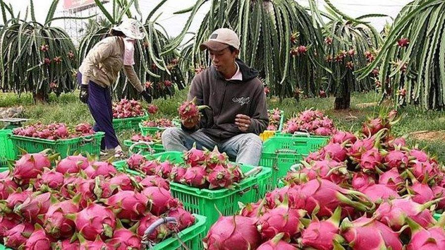 Mỹ - Trung tăng mua mạnh, rau quả khắp nơi vẫn báo ế