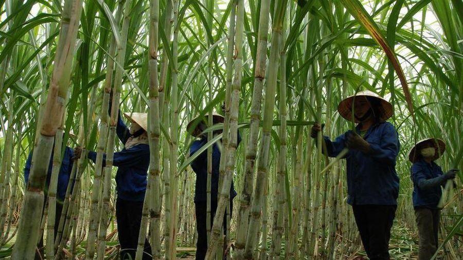 Cổ phiếu tăng 21,6% sau ba phiên, Mía đường Lam Sơn (LSS) thông qua kế hoạch bán toàn bộ hơn 2,3 triệu cổ phiếu quỹ