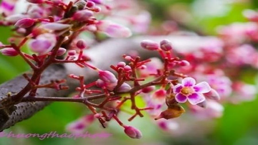 Xuyến xao mùa hoa khế đơm bông