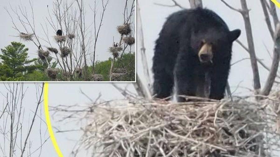 Gấu đen đói ăn cả gan leo lên cây cao 22 mét săn mồi